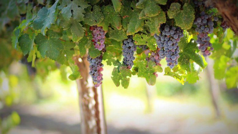 vigne, vignoble, vin rouge, raisin, vin pas cher, achat vin, vin en ligne